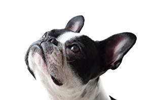 Photo French Bulldog Closeup Dog White background Head Glance
