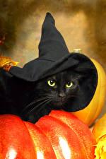 Fotos Halloween Hauskatze Kürbisse Schwarz Der Hut ein Tier