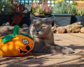 Hintergrundbilder Halloween Hauskatze Kürbisse Blick