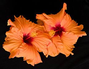 Fotos Eibisch Großansicht Schwarzer Hintergrund Orange Blumen