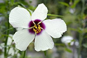 Bilder Eibisch Nahaufnahme Weiß Blüte