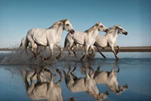 Image Horses Running Three 3 Water splash White Animals
