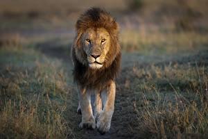 Desktop hintergrundbilder Löwe Blick Tiere