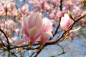 Pictures Magnolia Spring Closeup Branches Pink color Flowers