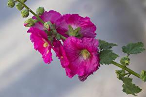 Hintergrundbilder Malven Großansicht Rosa Farbe Knospe Blumen
