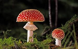 Images Mushrooms nature Amanita Closeup Moss