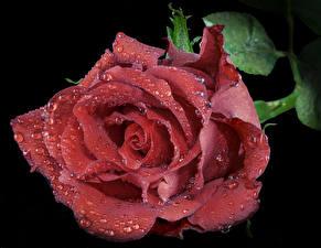 Bilder Rose Großansicht Schwarzer Hintergrund Rot Tropfen Blumen