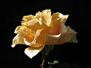 Hintergrundbilder Rose Nahaufnahme Schwarzer Hintergrund Gelb Blumen