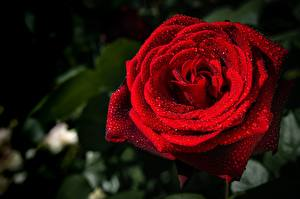 Fotos Rosen Nahaufnahme Rot Tropfen Blumen