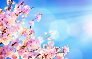 Wallpapers Sky Sakura Branches Pink color flower