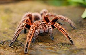Hintergrundbilder Webspinnen Nahaufnahme Bokeh Tarantula