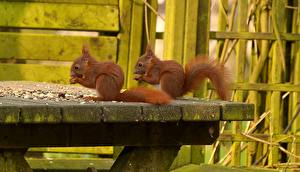 Picture Squirrels Rodents 2 Table Animals