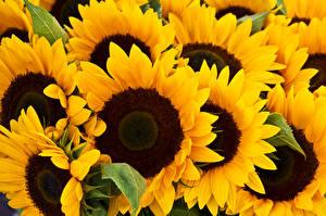 Hintergrundbilder Sonnenblumen Nahaufnahme Blüte