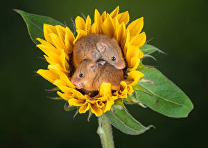 Wallpapers Helianthus Mice Two harvest mouse Animals