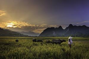 Fotos Sonnenaufgänge und Sonnenuntergänge Berg Asiatisches Stier Gras Der Hut Arbeit Natur
