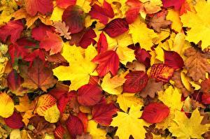 Fotos Textur Herbst Blatt Ahorne Natur