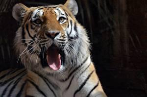 Fotos Tiger Starren Schnauze Zunge Gähnt Tiere