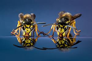 Pictures Wasp Closeup Two Drinking water Animals