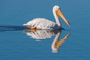 Hintergrundbilder Wasser Vögel Pelikane