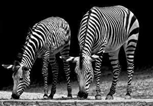 Bureaubladachtergronden Zebra's Zwart wit Twee 2 Dieren