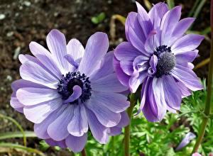 Bilder Windröschen Großansicht Violett Zwei