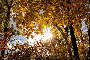 Images Autumn Trees Branches Maple Rays of light Nature