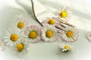 Hintergrundbilder Gänseblümchen Bokeh Gabel Blumen