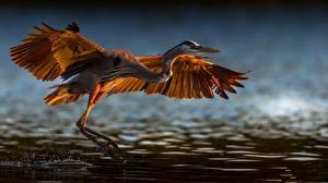 Fonds d'écran Oiseau Ardéidés Décolle Aile Great blue heron Animaux