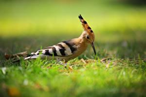Images Birds Bokeh Grass Hoopoe Animals