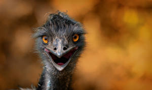Wallpapers Bird Ostriches Closeup Staring Head Blurred background Animals