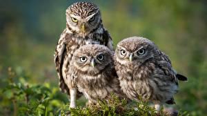 Pictures Birds Owl Moss Three 3 Athene animal