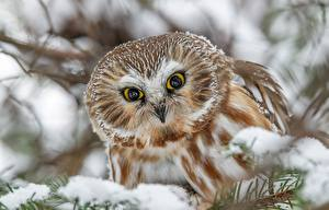 Pictures Bird Owl Staring Boreal owl