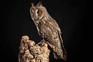Picture Birds Owl Black background Tree stump Northern Long-Eared Owl Animals