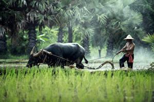 Hintergrundbilder Rinder Mann Asiatische Arbeit Der Hut Gras ein Tier