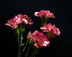 Picture Dianthus Closeup Black background