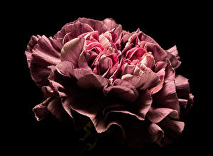 Images Carnations Closeup Black background