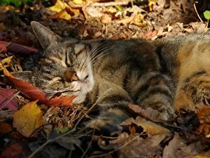 Photo Cat Autumn Sleeping Foliage animal
