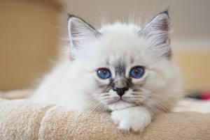 Hintergrundbilder Katzen Katzenjunges Starren Weiß Schnauze Birman ein Tier