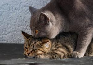 Wallpaper Cat British Shorthair Kittens 2 animal