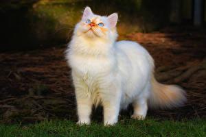 Fotos Katze Starren Weiß ein Tier