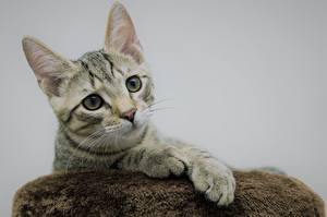 Bilder Katze Grauer Hintergrund Kopf Starren Pfote