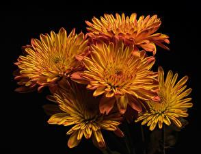 Fotos Chrysanthemen Großansicht Schwarzer Hintergrund Orange Blumen