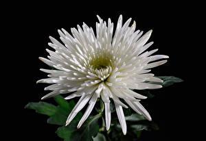 Bilder Chrysanthemen Großansicht Schwarzer Hintergrund Weiß Blumen