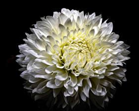 Fotos Chrysanthemen Großansicht Schwarzer Hintergrund Weiß Blüte