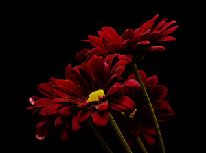 Bilder Chrysanthemen Großansicht Schwarzer Hintergrund Bordeauxrot Blüte