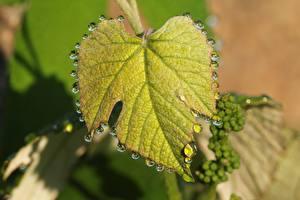 Bakgrundsbilder på skrivbordet Närbild Löv Droppe Natur