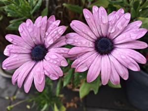 Fotos Nahaufnahme Zwei Violett Tropfen Osteospermum Blüte