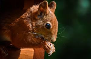 Bilder Großansicht Eichhörnchen Augen Pfote ein Tier