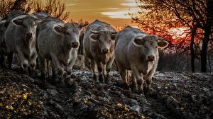 Papel de Parede Desktop Vaca Lama Animalia