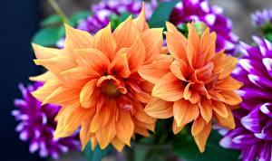 Images Dahlias Closeup Orange Flowers